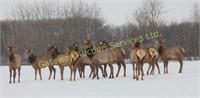 2019 Alberta Elk Ranchers Production Sale