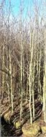 Approx 5  Aspen Trees