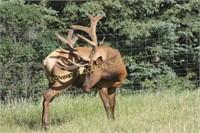 2019 AEC Convention Select Elk  & Semen Auction