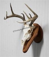 Whitetail Buck 8 Point Skull Trophy Mount