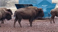 Clearwater Ranch Online Only Bison Auction