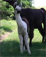Belles and Beaus Llama Auction