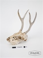 Skull with antlers