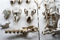 Lot of variety of animal bones and skulls