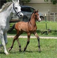 Westfalen Foals & Youngstock Classifieds