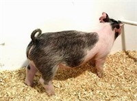 APRIL 7TH - Northern Show Circuit Feeder Pig Auction