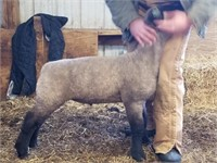 APRIL 7TH - Northern Show Circuit Sheep & Goat Auction