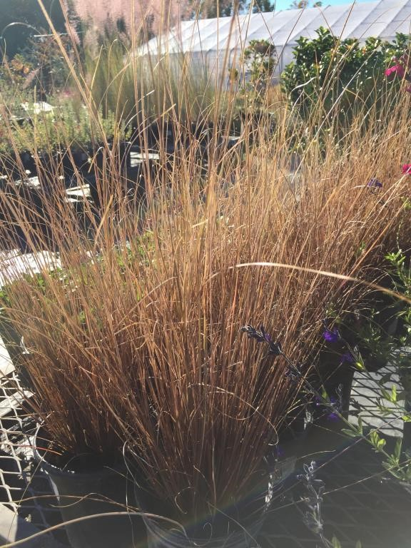 12 Red Rooster Perennial Grass Bidcal Inc Live Online