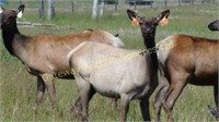 2017 Elk Trophy Bull & Breeding Stock Auction