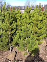Approx 5 Lodgepole Pine Trees