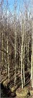 Approx 15 Aspen Trees