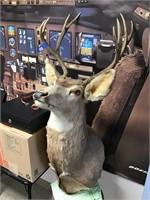 Large deer mount