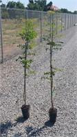 Sierra Gold Nurseries Pistachio & Almond Tree Auction