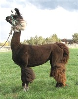 Cascade Llama Auction at Ag-fest