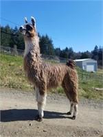 Cascade Llama Auction at Ag-fest