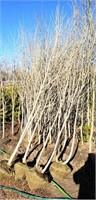 Misc Cottonwood Trees