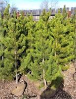 Misc Lodge Pole Pine Trees