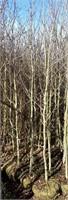 Misc Aspen Trees