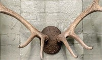 Large Rack of Elk Antlers - Taxidermy