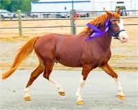 2016 Second Chance Stallion Service Auction