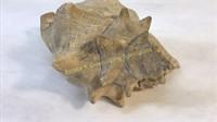 4 Conch Sea Shells