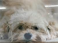 Lazy Maltese with glasses framed portrait