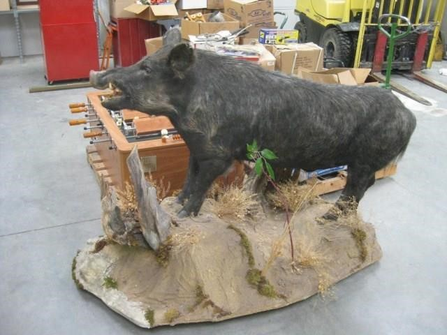 Life Size Wild Boar Mount | United Country Musick & Sons