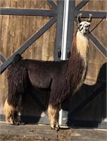 Firecracker Online Llama Auction