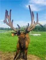2019 Elk Trophy Bull & Breeding Stock Auction