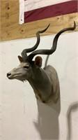 Greater Kudu Mount-