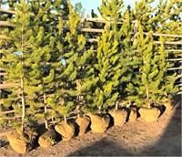 Lodge Pole Pine Trees