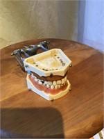 Dental Display set of teeth