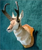 Trophy antelope mount