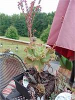 Succulent Plants, Pots, + Watering Jug