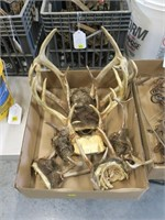 Lot, whitetail deer racks