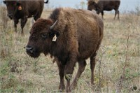 Cumberland Bison, LLC Online Only Bison Auction