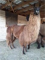 Oktoberfest Online Llama Auction