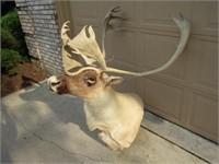 Quebec Labrador Bull Reindeer 1990 - NOW ILLEGAL