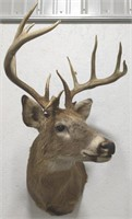 14pt whitetail shoulder-mount  longest tine 8.25""