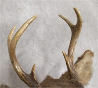 "6pt white tail deer shoulder mount 3.25"" longest"