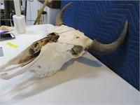 NICE Complete Cow SKULL Horns/Teeth