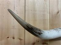 Huge Set of Texas Long Horn Cattle Horns