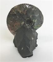 Nautilus Ammonite fossil