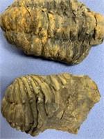 Lot of 3 unprocessed trilobite fossils         (M