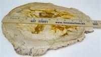 Petrified Texas Palm Wood Slab