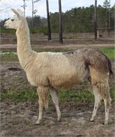March of the Llamas Online Auction 2020
