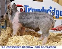 9-3 CROSSBRED BARROW