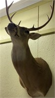 8 Point deer shoulder mount.