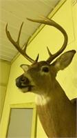 8 point deer shoulder mount.