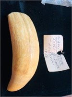 6 inch tooth from Iceland 1955